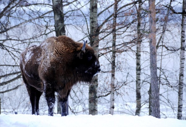 bison poland