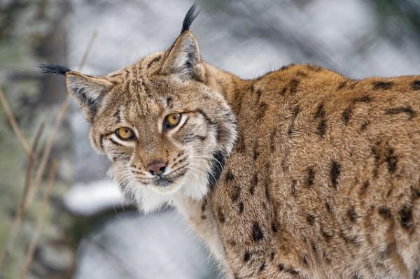 euroasian lynx poland