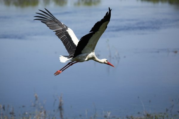 bocian nad biebrza ptaki polski