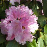 Japanese garden Iłowa - rhododendron