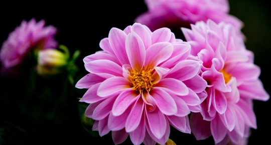 the first dahlias in Europe
