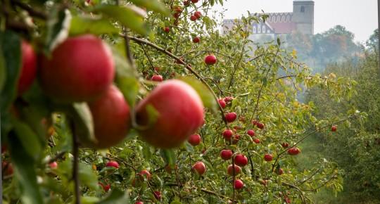 regional food - apples on the tree naer Kożuchów Castle